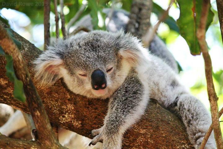 los koalas estudia en australia. Black Bedroom Furniture Sets. Home Design Ideas