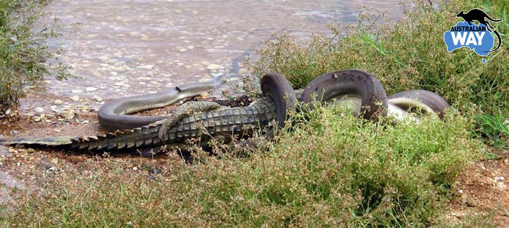 serpiente en australia comiendose a un cocodrilo, estudia en australia. australianway.es. estudiaenaustralia.es