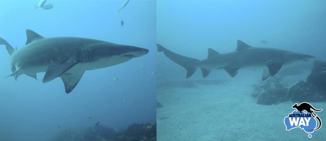 tiburones grey nurse, bucear, byron bay, inaki, estudiar en australia, estudia en australia, australianway.es, estudiaenaustralia.es