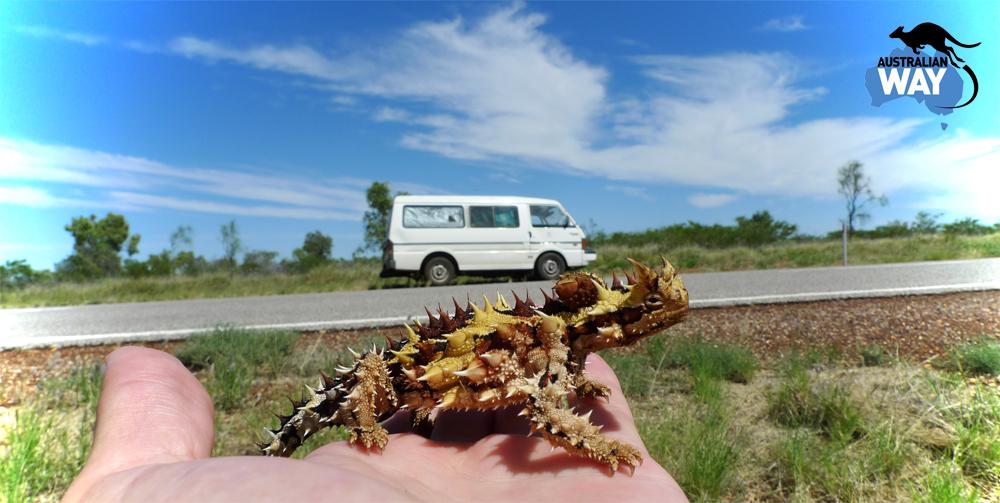 thorny devil, outback, estudiar en australia, australian way, estudia en australia, fauna aussie2